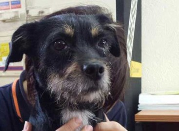 Una perrita perdida en Tordera es localizada tres años después en Lliçà d'Amunt