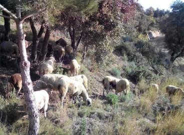El Parc de la Serralada Litoral utiliza corderos para prevenir incendios forestales