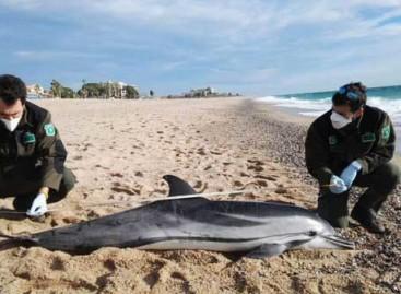 Encuentran un delfín varado muerto en la playa de Calella