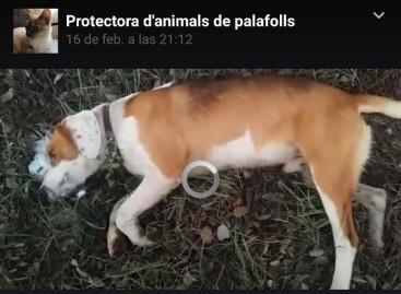 Denuncian la muerte de un perro en Tordera tras ingerir un frankfurt envenenado