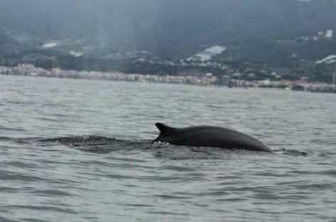 Detectadas el paso por la costa del Maresme de dos grandes ballenas