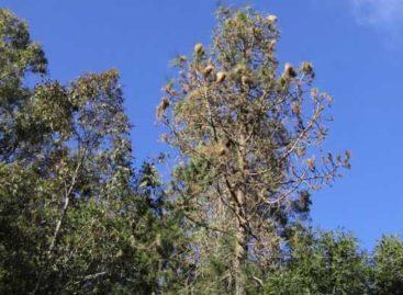 Las tres plagas que afectan al Maresme han acabado ya con 40 hectáreas de pinos