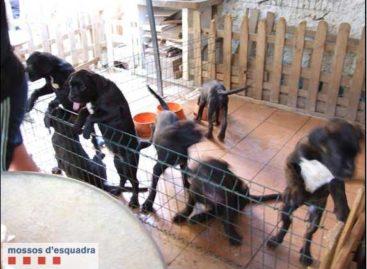 Los Mossos actúan contra un criador ilegal de perros  de Arenys de Munt