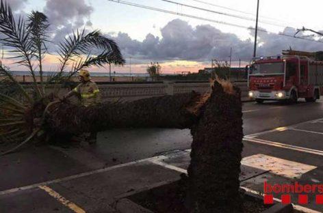 Una gran palmera se desploma en el Passeig de Malgrat