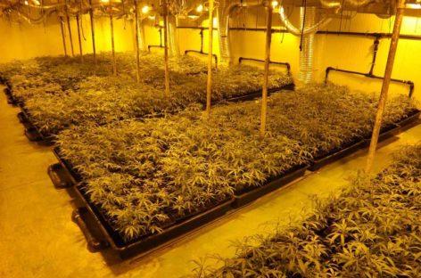 Tres vecinos de Vilassar de Mar y Mataró detenidos por cultivar 2.800 plantas de marihuana