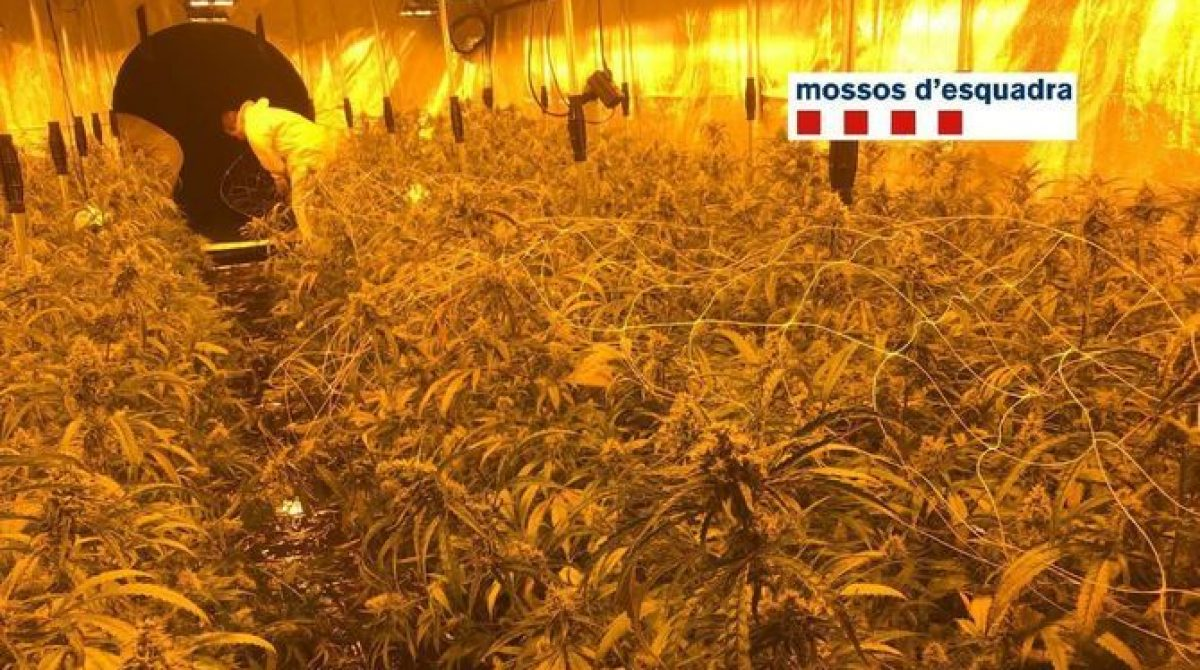 Desmantelada una plantación de marihuana en Vilassar de Dalt