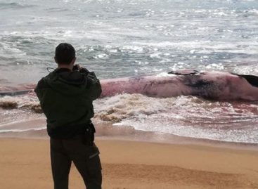 Aparece una ballena muerta en una playa de Montgat
