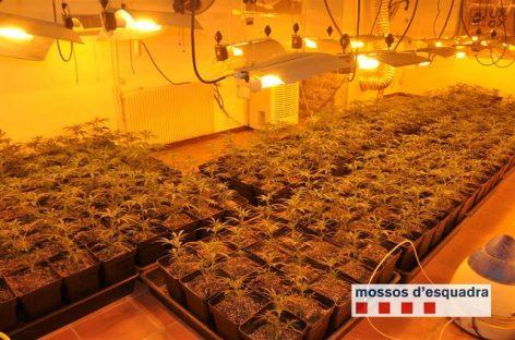 Detenido un vecino de Mataró por un cultivo de marihuana a escala industrial en Cerdanyola