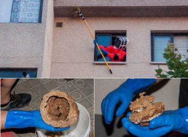 Detectan y retiran en Mataró por primera vez un nido de avispa asiática