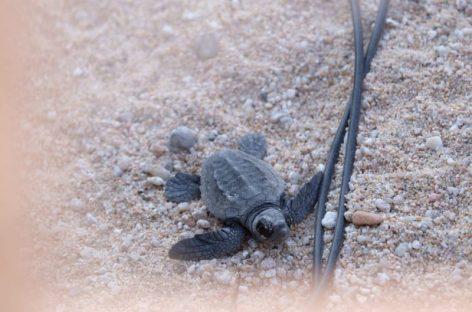 Nace la primera de las tortugas del nido de la playa de Mataró. Hoy se prevé que salgan el resto
