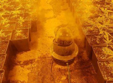 Detenido un vecino de Palafolls por vigilar una plantación de marihuana