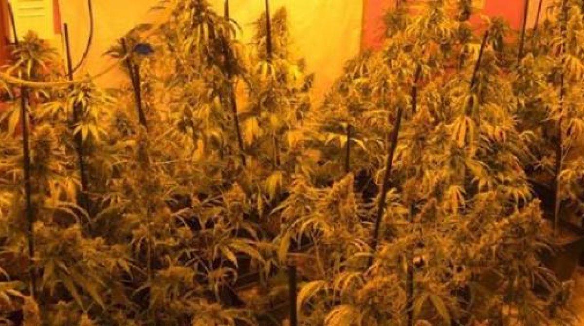 Una banda cultivaba marihuana en pisos de Tordera para destinarla a la exportación