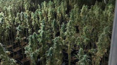 Los Mossos localizan en una urbanización de Pineda una nueva plantación de marihuana