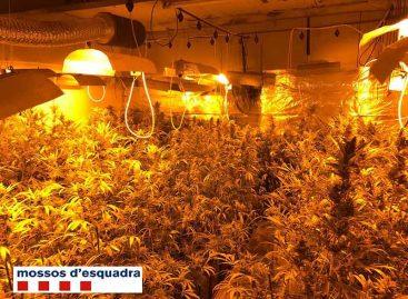 Detenido un vecino de Vilassar como responsable de una plantación de marihuana en Tiana